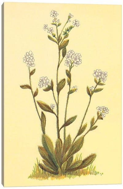 Kings Eritrichium Canvas Art Print