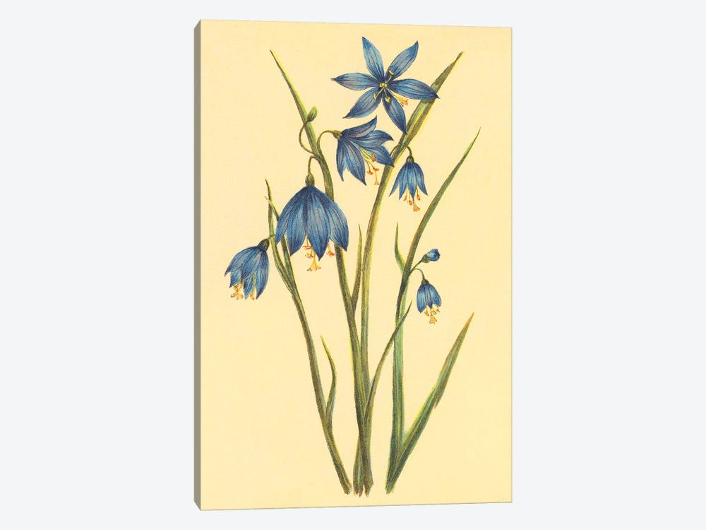 Large Flowered Blue Eyed Grass by PI Collection 1-piece Canvas Wall Art