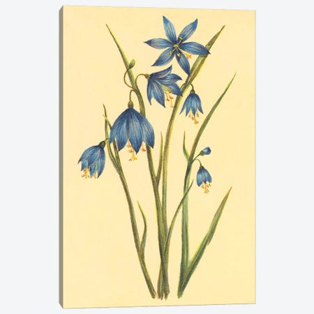 Large Flowered Blue Eyed Grass Canvas Print #PIC56} by PI Collection Canvas Art