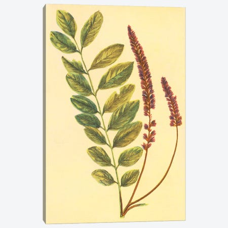 Lead Plant Canvas Print #PIC59} by PI Collection Canvas Print