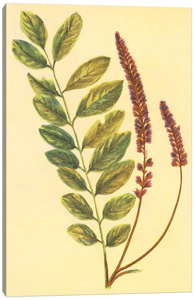 Lead Plant Canvas Art Print
