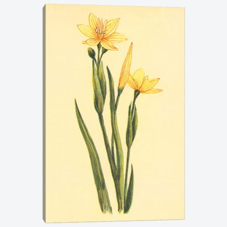 Arizona Sisyrinchium Canvas Print #PIC5} by PI Collection Art Print