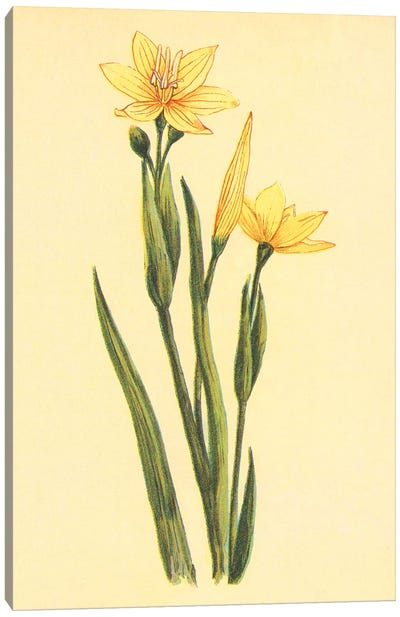 Arizona Sisyrinchium Canvas Art Print