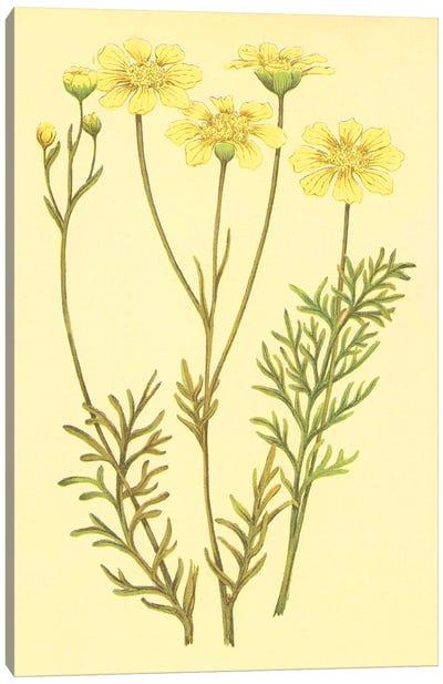 Newberry Leucampyx Canvas Art Print