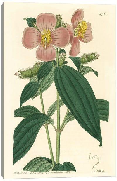 Osbeckia Stellata Flower Canvas Art Print