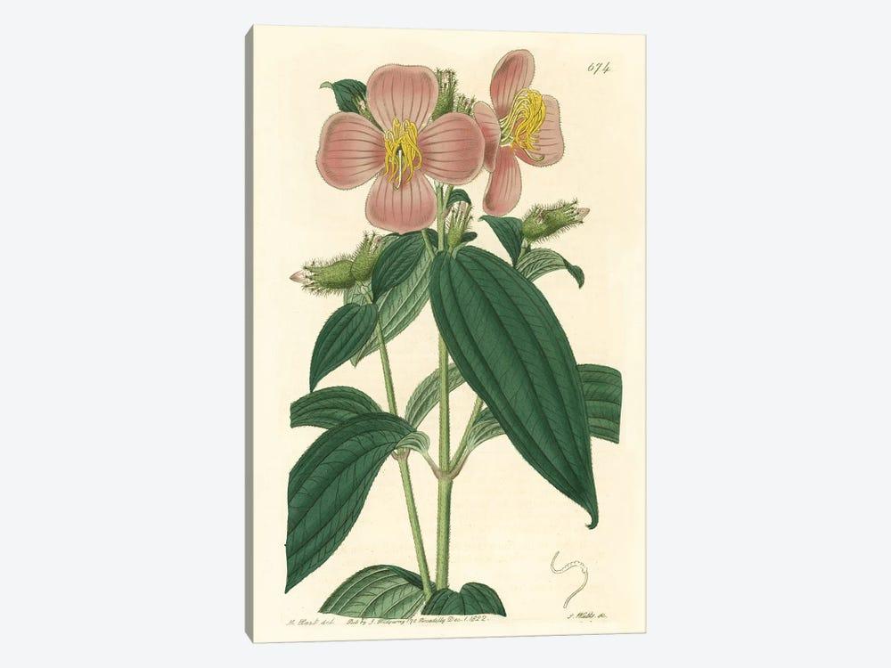 Osbeckia Stellata Flower by PI Collection 1-piece Canvas Artwork