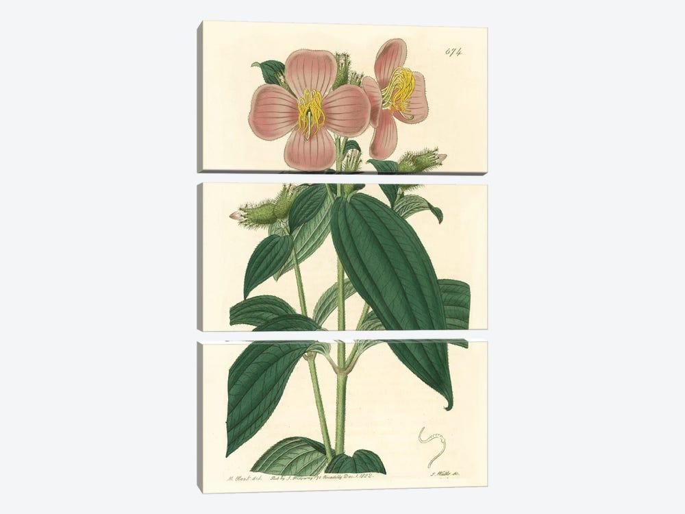 Osbeckia Stellata Flower by PI Collection 3-piece Canvas Artwork