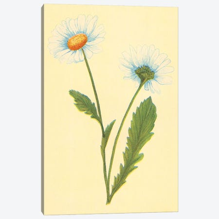 Oxeye Daisy With White Weed Canvas Print #PIC66} by PI Collection Art Print