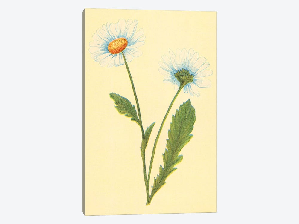 Oxeye Daisy With White Weed by PI Collection 1-piece Canvas Print
