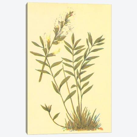 Oxytropis Lambertii Canvas Print #PIC67} by PI Collection Canvas Art Print