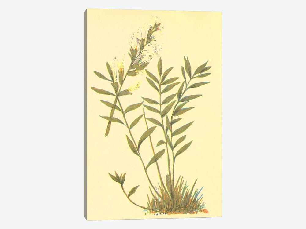 Oxytropis Lambertii 1-piece Canvas Wall Art