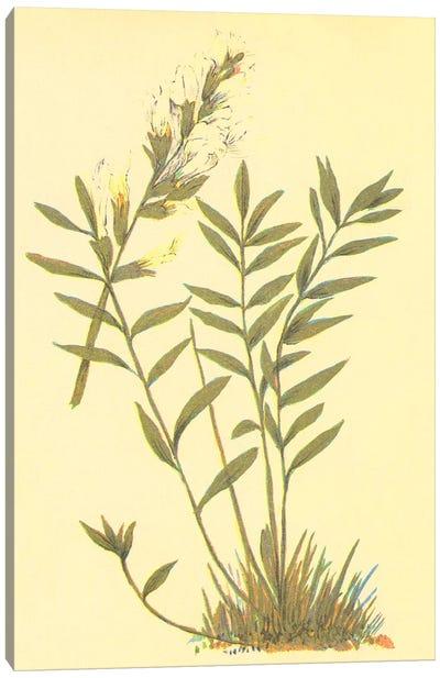 Oxytropis Lambertii Canvas Art Print