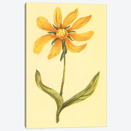 Arizona Wyethia Canvas Print #PIC6} by PI Collection Art Print