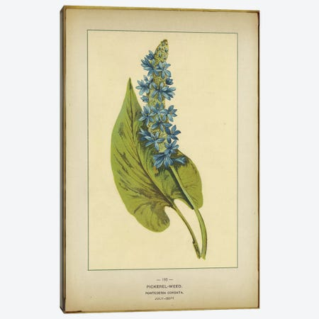 Pickerelweed, Pontederia Cordata Canvas Print #PIC70} by PI Collection Canvas Art Print