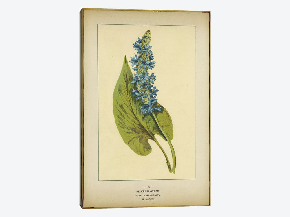 Pickerelweed, Pontederia Cordata by PI Collection 1-piece Canvas Art