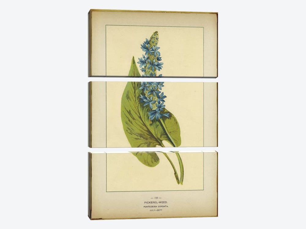 Pickerelweed, Pontederia Cordata by PI Collection 3-piece Canvas Art