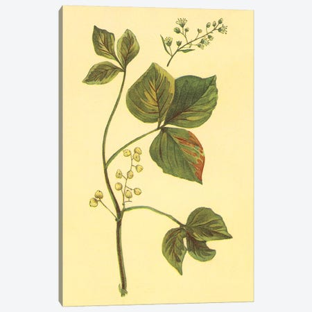 Poison Ivy And Poison Oak Canvas Print #PIC72} by PI Collection Canvas Print