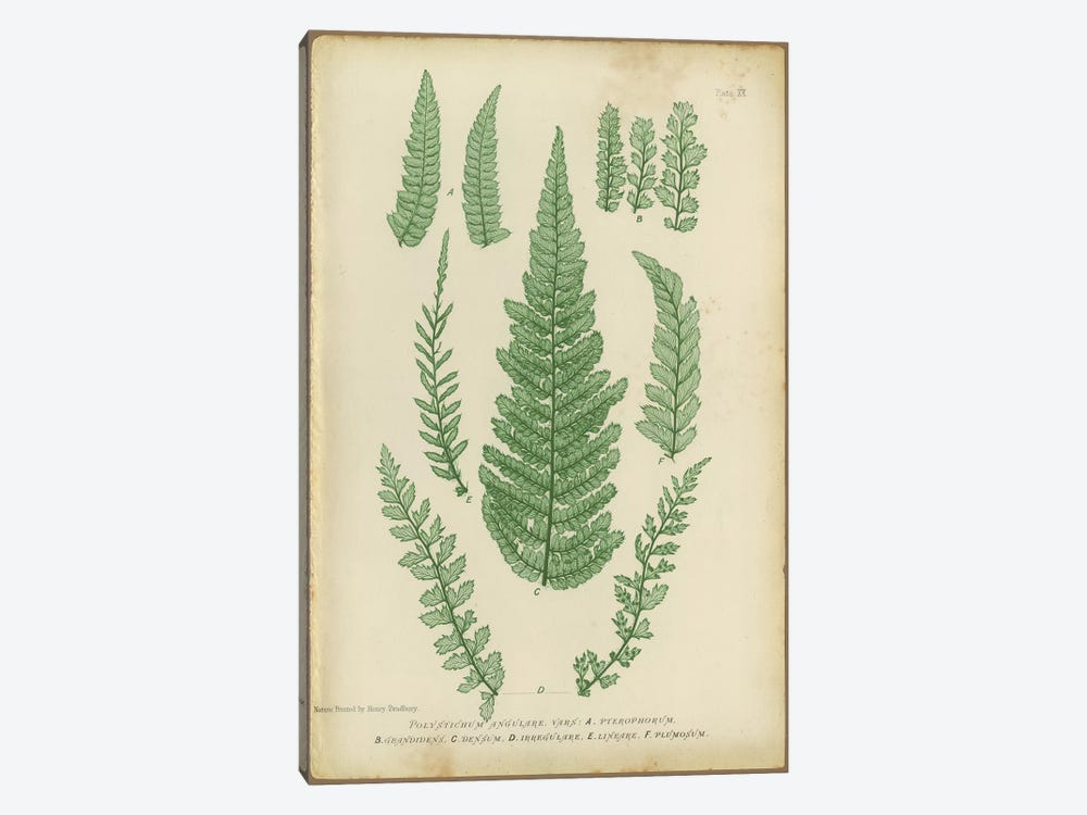 Polystichum Fern by PI Collection 1-piece Art Print