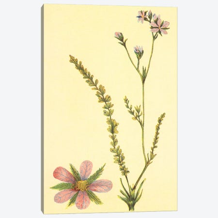 Purplish Horkelia Flower Canvas Print #PIC75} by PI Collection Canvas Wall Art
