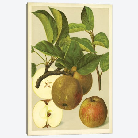 Russet Apples Canvas Print #PIC79} by PI Collection Canvas Art Print