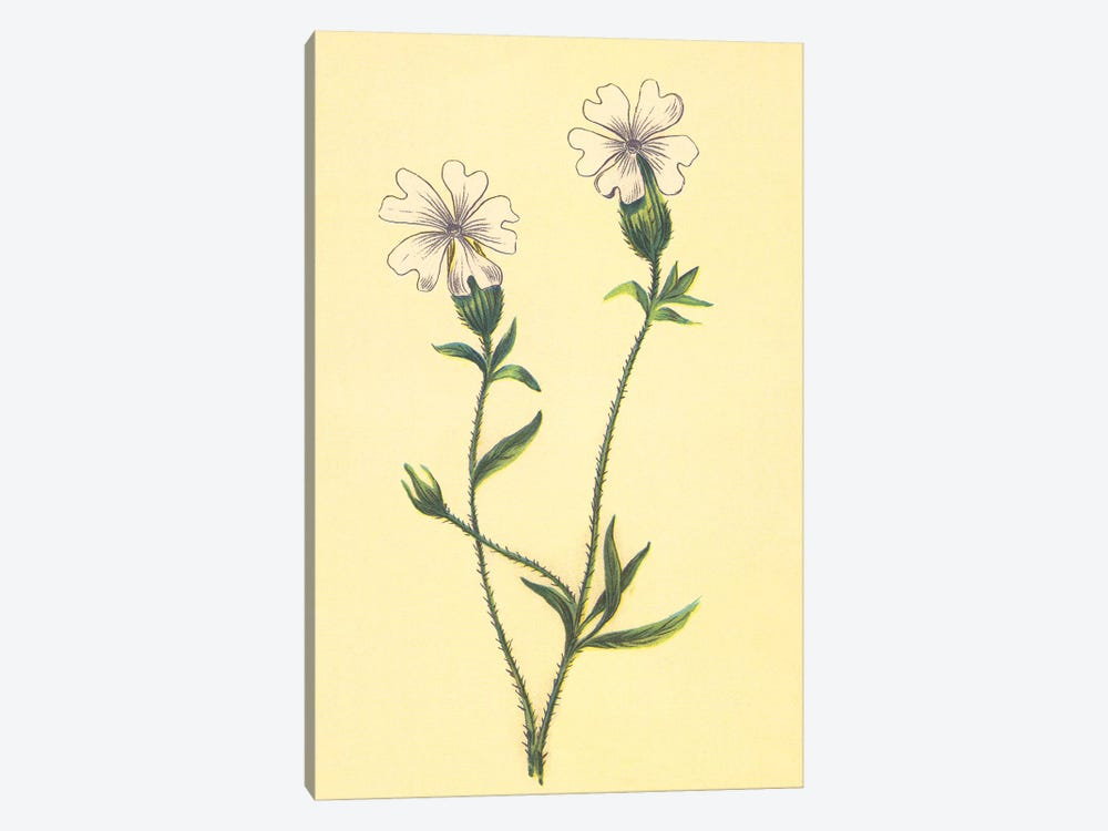 Silene Vulgaris by PI Collection 1-piece Canvas Art