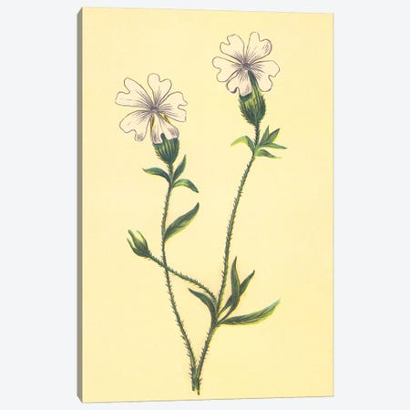 Silene Vulgaris Canvas Print #PIC87} by PI Collection Canvas Art Print