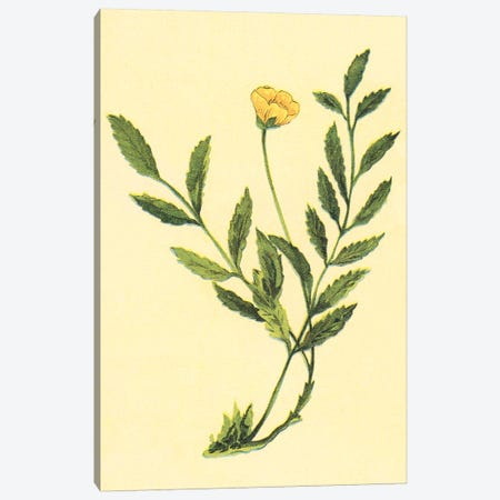 Silverweed Plant Canvas Print #PIC88} by PI Collection Canvas Art
