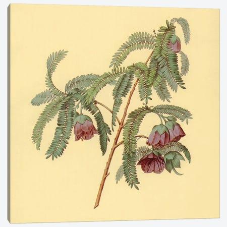 Spaendoncea Tamarandifolia Canvas Print #PIC90} by PI Collection Art Print