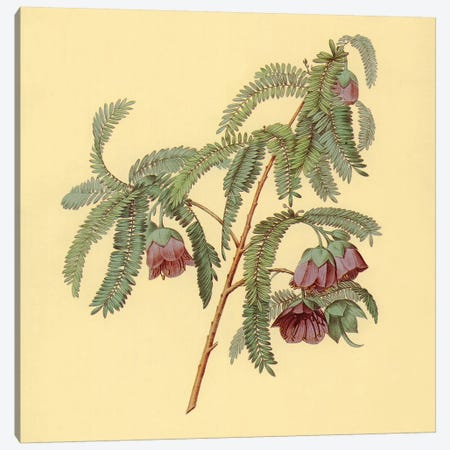 Spaendoncea Tamarandifolia Canvas Print #PIC90} by PI Collection Art Print