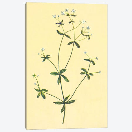 Sweet Scented Bedstraw Canvas Print #PIC93} by PI Collection Canvas Print