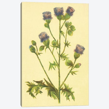 Thistle Canvas Print #PIC95} by PI Collection Canvas Artwork