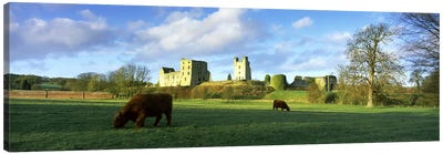 Highland cattle grazing in a fieldHelmsley Castle, Helmsley, North Yorkshire, England Canvas Print #PIM10092