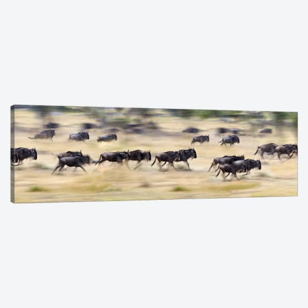 Herd of wildebeests running in a field, Tanzania Canvas Print #PIM10186} by Panoramic Images Canvas Art