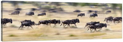 Herd of wildebeests running in a field, Tanzania Canvas Print #PIM10186