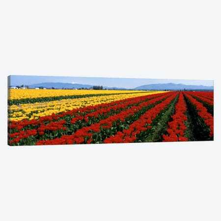 Tulip Field, Mount Vernon, Washington State, USA Canvas Print #PIM101} by Panoramic Images Canvas Art Print