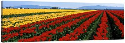 Tulip Field, Mount Vernon, Washington State, USA Canvas Print #PIM101