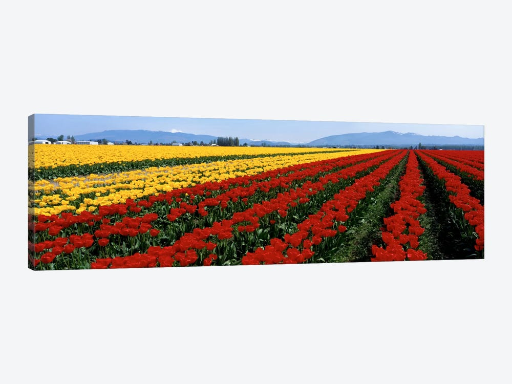 Tulip Field, Mount Vernon, Washington State, USA by Panoramic Images 1-piece Canvas Wall Art