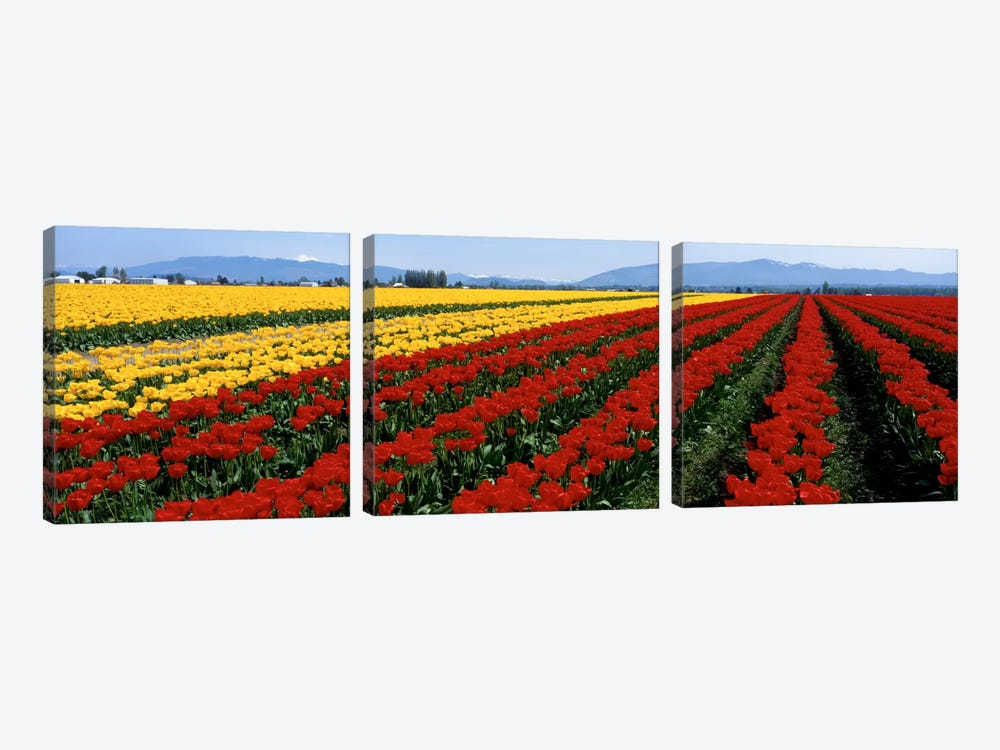 Tulip Field, Mount Vernon, Washington State, USA by Panoramic Images 3-piece Canvas Artwork