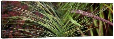 Dew drops on grass Canvas Art Print