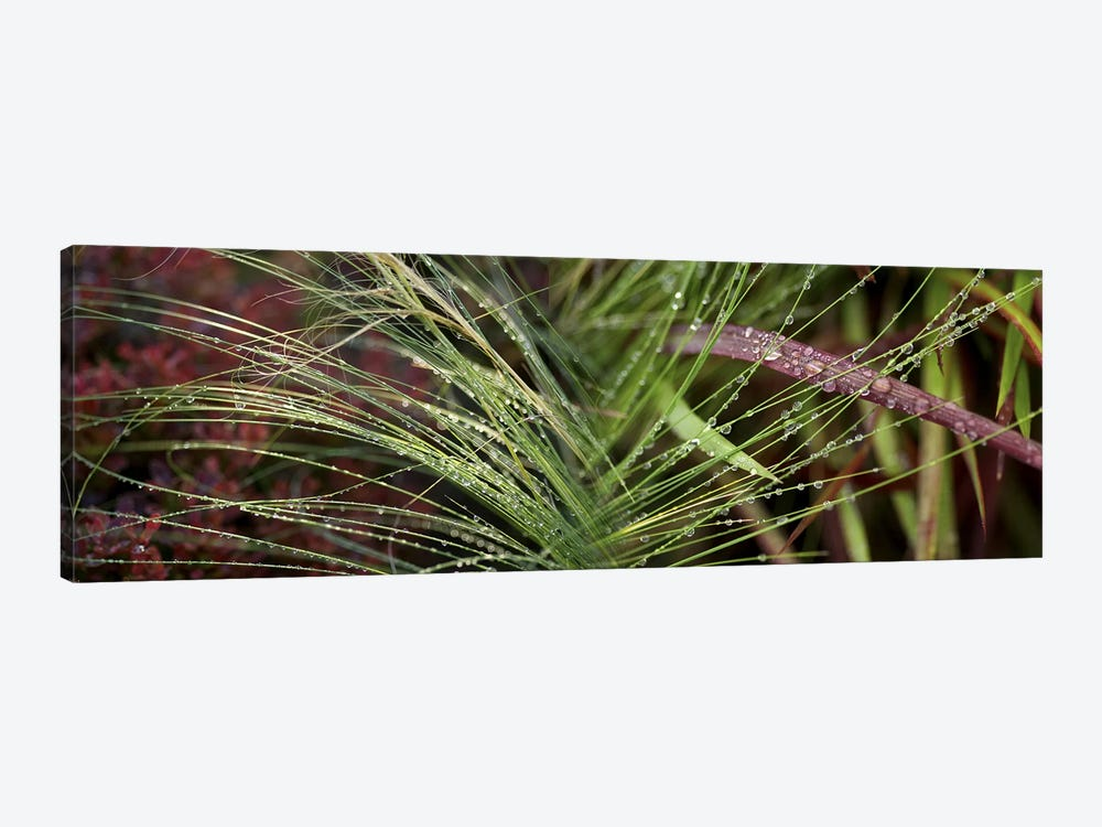 Dew drops on grass by Panoramic Images 1-piece Canvas Wall Art