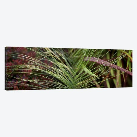 Dew drops on grass Canvas Print #PIM10216} by Panoramic Images Canvas Wall Art