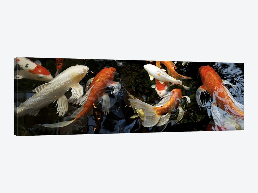 Koi Carp swimming underwater by Panoramic Images 1-piece Canvas Wall Art