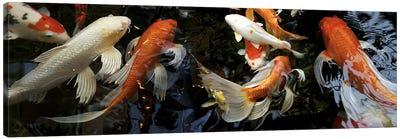 Koi Carp swimming underwater Canvas Art Print