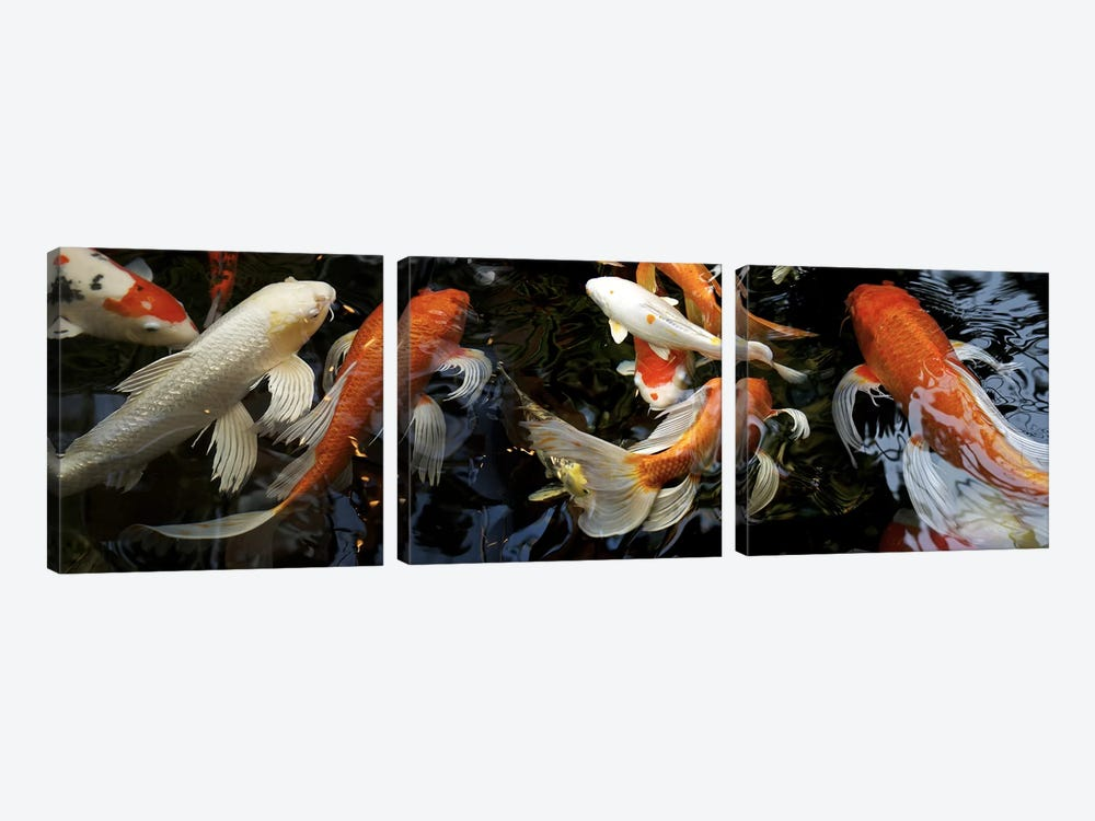 Koi Carp swimming underwater by Panoramic Images 3-piece Canvas Wall Art