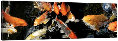 Koi Carp swimming underwater #2 Canvas Art Print