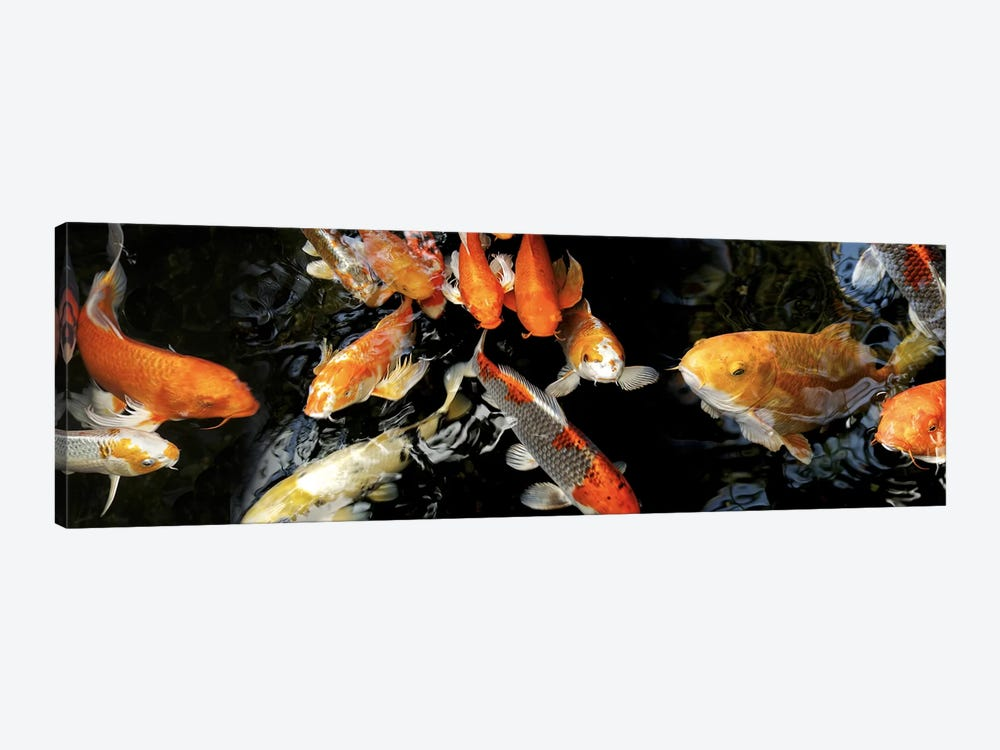 Koi Carp swimming underwater #2 by Panoramic Images 1-piece Canvas Art Print