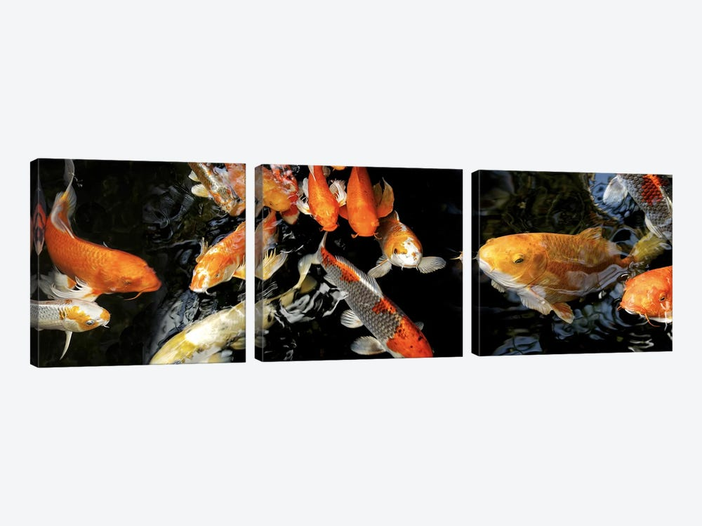 Koi Carp swimming underwater #2 by Panoramic Images 3-piece Art Print