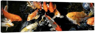 Koi Carp swimming underwater #2 Canvas Art Print