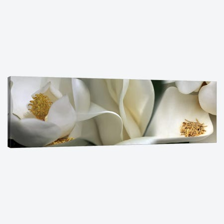 Magnolia heaven flowers Canvas Print #PIM10220} by Panoramic Images Canvas Art