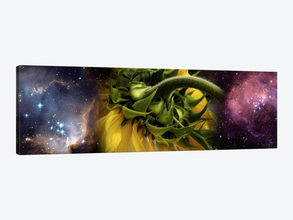 Sunflower in cosmos by Panoramic Images 1-piece Canvas Art
